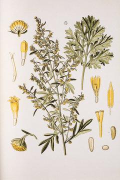 Illustration botanique / Artemisia absinthium / Absinthe