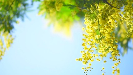 Fotoväggar - Mimosa. Spring flowers Easter background. Blooming mimosa tree over blue sky. Full HD 1080p video footage