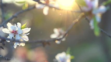 Klistermärke - Blooming spring tree over sun. Beautiful Easter nature scene with blooming almond tree. Full HD video 1080p