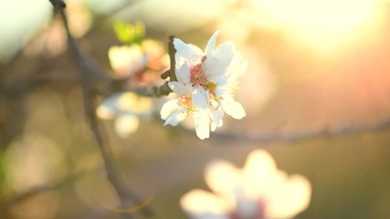 Affisch - Blooming spring tree over sun. Beautiful Easter nature scene with blooming almond tree. Full HD video 1080p