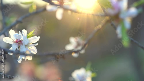 Wall mural Blooming spring tree over sun. Beautiful Easter nature scene with blooming almond tree. Full HD video 1080p