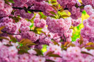 pink flowers of sakura branches