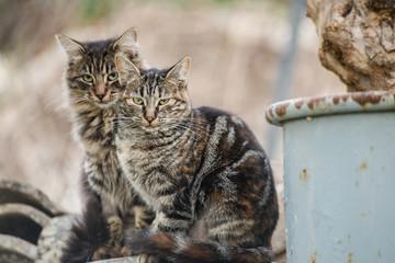 Pareja de gatos romanos