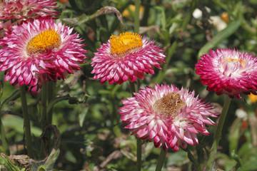 Helichrysum bracteatum / Immortelle à bractées