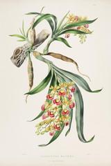 Illustration botanique / Galeandra baueri