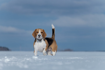 Beagle dog walking in the snow