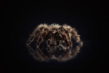 Big spider tarantula  is on a black background