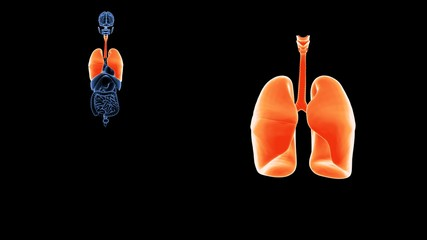 3d illustration human body lungs.human body organs