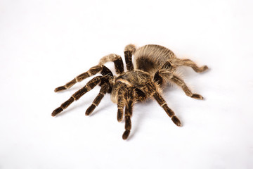 Big spider tarantula  is on a white background