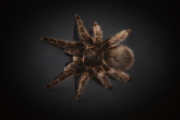 Big spider tarantula  is on a black background