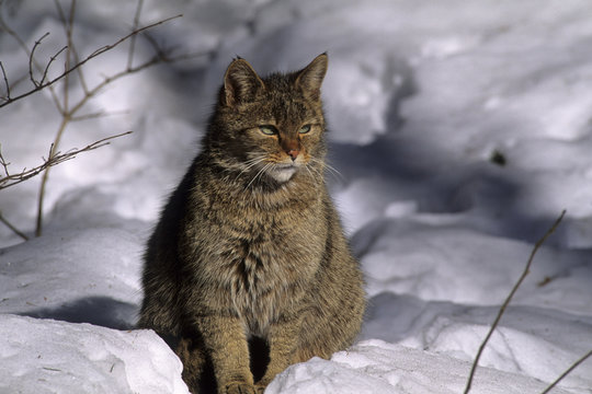 Felis silvestris / Chat sauvage / Chat forestier