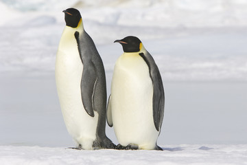 Fotobehang Pinguin Aptenodytes forsteri / Manchot empereur