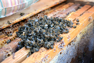 Dead bees in the hive to honey combs. Beekeeping.