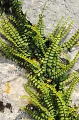 Braunstieliger Streifenfarn (Asplenium trichomanes), Spanien