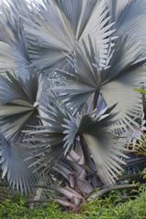 Tuinposter Botanisch Bismarckia nobilis / Palmier de Bismarck