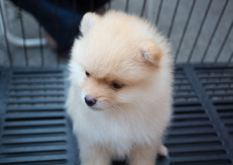 Pomeranian puppy is waiting for a new owner