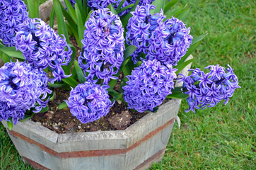 purple hyacinth flowers planter