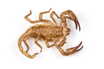 Isolated photo of brown scorpion's pelt