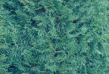 Background Thuja tree. Instagramm folder.