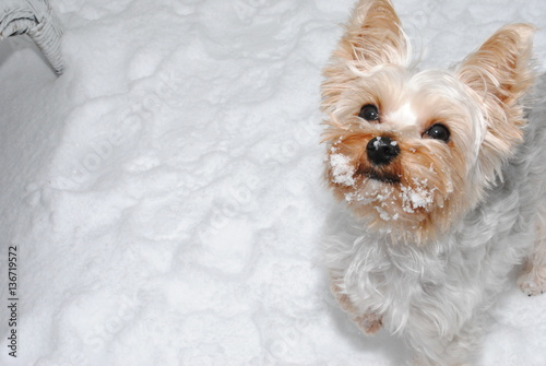 Yorkie Snow Face Stock Photo And Royalty Free Images On Fotoliacom
