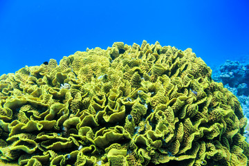 The green coral at the bottom of the red sea. Underwater photogr