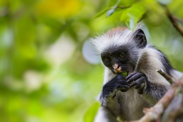 Endangered Zanzibar red colobus monkey (Procolobus kirkii), Joza