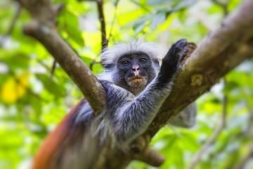 Endangered Zanzibar red colobus monkey (Procolobus kirkii), Joza