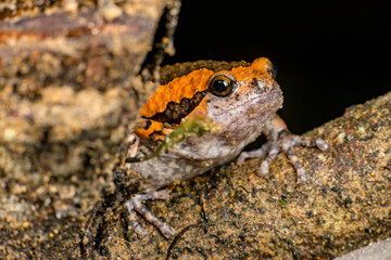 Orange and brown banded bull, chubby, Asian painted, rice or bubble frog,(Tetrapoda: Amphibia: Anura: Microhylida: Kaloula pulchra) stay still on a wooden log isolated with black background