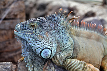 Large herbivorous lizard family iguanidae with scales and needles