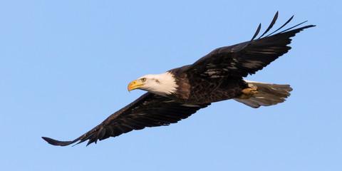 Bald Eagle Flyover Fototapete