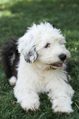 Olivia, a female Old English Sheepdog puppy