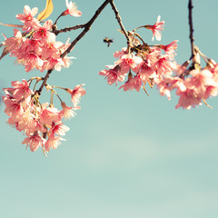 Wall Mural - Vintage cherry blossom - sakura flower. nature background  (retro filter effect color)