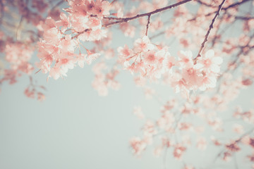 Beautiful vintage sakura tree flower (cherry blossom) in spring. retro color tone style. Wall mural