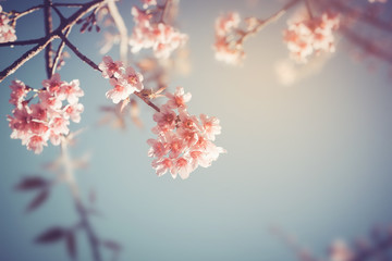 Close-up of beautiful vintage sakura tree flower (cherry blossom) in spring. vintage color tone style. Fototapete
