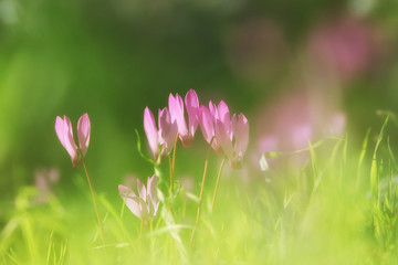 dreamy image of cyclamen flowers blooming in the forest