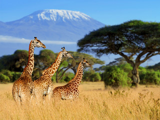 Foto op Plexiglas Giraffe Three giraffe on Kilimanjaro mount background