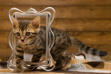 bengal kitten passes through the frame