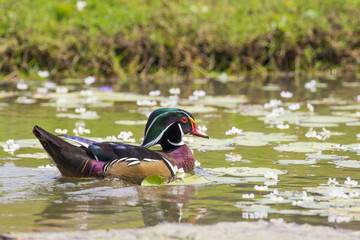 Image of a wood duck on the water. Wild Animals.