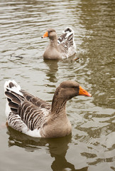 beautiful wild ducks
