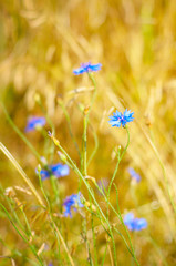 Cornflowers over wheat background