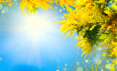 Fotoväggar - Mimosa. Spring flowers Easter background. Blooming mimosa tree over blue sky