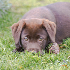 Baby labrador, puppy lying on the lawn