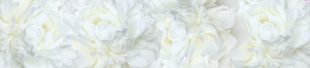 panorama  white peonies