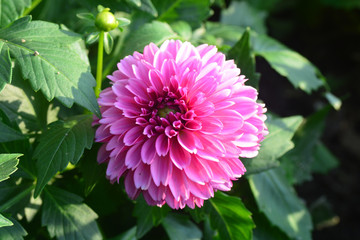 Closeup of Beautiful dahlia flower