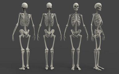 3D Illustration Of A Human Skeleton
