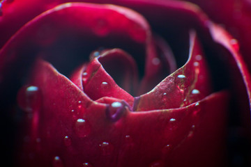symbol of love and romantic feelings, red rose petals macro picture with water drops useful for background