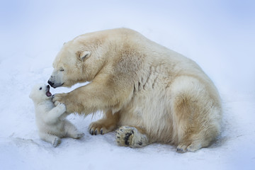 Poster Ours Blanc Polar bear with mom