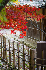 Red maple in autumn with traditional wood fence and house of jap
