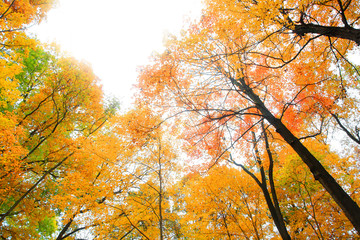 Bright colorful maple trees reaching sky