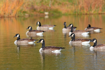 Canadian geese in the lake in autumn time